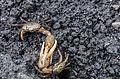 Fiddler crabs fighting in La Restinga 2.jpg