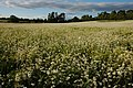 Field of Moon Daisies, Croome Landscape Park - geograph.org.uk - 470648.jpg