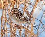 Field sparrow in CP (41484) (cropped).jpg