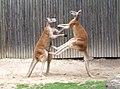 Fighting red kangaroos 1.jpg