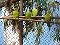Finsch's Parakeet Psittacula finschii by Dr Raju Kasambe (2).JPG