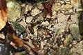 Fire Salamander Larvae.jpg