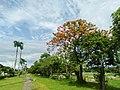 Fire Tree beside University Avenue, U.P. Diliman, Quezon City (1).jpg