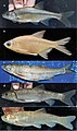 Fishes in upper Kura and Aras river drainages (10.3897-zse.96.52241) Figure 5.jpg