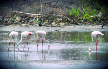 Flamingos at the national bird century.png