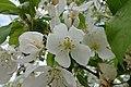 Fleur (Prunus) (3).jpg