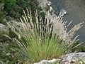 Fleurs des gorges de l'Ardèche 07.jpg