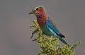 Flickr - Rainbirder - Lilac-breasted Roller (Coracias caudatus) (2).jpg