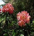 Flickr - brewbooks - Rhododendron and Bee - John M's Garden (3).jpg