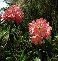 Flickr - brewbooks - Rhododendron and Bee - John M's Garden (3).jpg