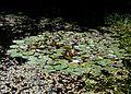 Flickr - brewbooks - Water Lilies.jpg