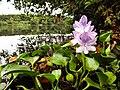 Flor do Aguapé.jpg