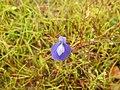 Flora from Madayipara DSCN2614.jpg