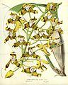 Flore des serres v14 257a.jpg