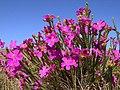 Flores do cerrado - panoramio (1).jpg