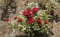 Floribunda - Ruffles 3 (c).JPG