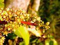 Flower Of Mango.jpg