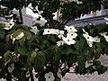 Flowers of Cornus kousa 20160509.JPG