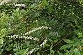Flowers of Kerala03909.jpg