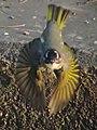 Flying (8511615905).jpg