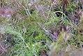Foeniculum vulgare 4zz.jpg