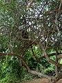 Folhagem do Umbú - panoramio.jpg