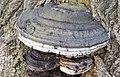 Fomes fomentarius (tinder fungus) (Newark, Ohio, USA) 2.jpg