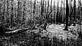 Forst von Grumsin Bioshärenreservat Schorfheide-Chorin.JPG