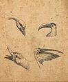 Four heads of birds; a swan, a polyphemus, a wild duck and a Wellcome V0009143ER.jpg
