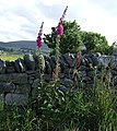 Foxgloves - geograph.org.uk - 483556.jpg