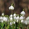 Frühlings-Knotenblume, Leucojum vernum 40.JPG