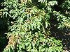Manna Ash leaf
