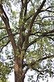 Fraxinus ornus - Crni jasen (9)22.jpg