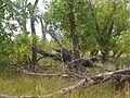 Fraxinus pennsylvanica (5108087120).jpg