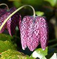 Fritillaria meleagris. Snake's head Fritillary - Flickr - gailhampshire.jpg