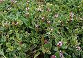 Frog fruit (Phyla nodiflora) in Hyderabad, AP W IMG 8034.jpg