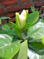 Front View Of Cape Jasmine.png