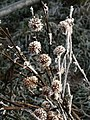 Frosted burs, Pen-y-wern Hill - geograph.org.uk - 1110238.jpg