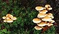 Fungus, Clare Glen, Tanderagee - geograph.org.uk - 1590491.jpg