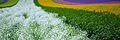 Furano flowers (7662402334).jpg
