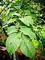 GFA U. prunifolia foliage.jpg