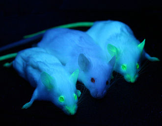 Laboratory mouse - Two mice expressing enhanced green fluorescent protein under UV-illumination flanking one plain mouse from the non-transgenic parental line.