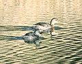 GREBE, LEAST (11-2-10) adult with pied-billed, pena blanca lake, scc, az -01 (5140784302).jpg