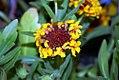 Gaillardia aristata Fanfare 0zz.jpg