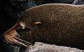 Galápagos fur seal (4229091524).jpg