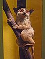 Galago senegalensis-Musée zoologique de Strasbourg.jpg
