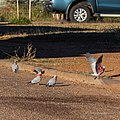 Galah Pituri St Boulia Queensland P1030799.jpg