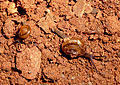 Garden Snails at Nizampet 04.jpg