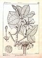 Gardenia latifolia00.jpg