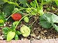 Gardenology.org-IMG 5321 hunt0904.jpg